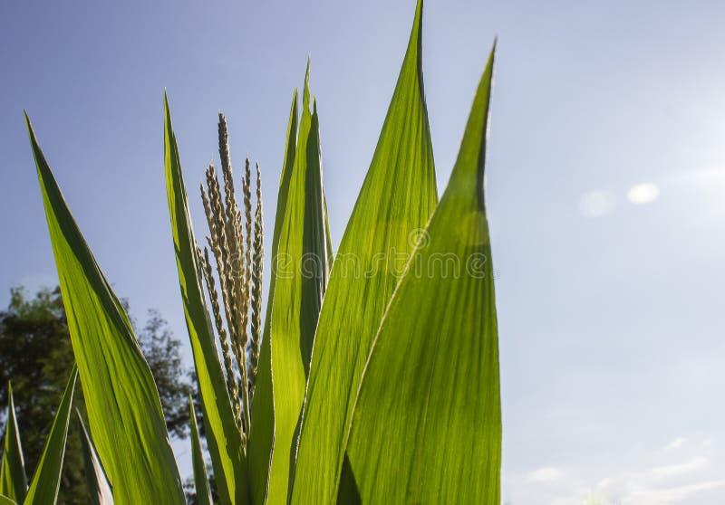 Das Grün von cron Blatt stockfoto