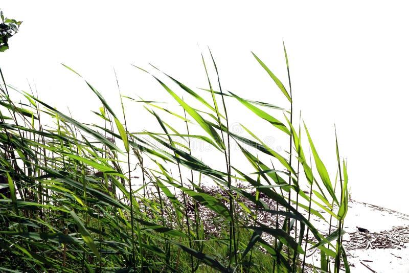 Das Gras ist Schnitt-auf einem weißen Hintergrund stockfotografie