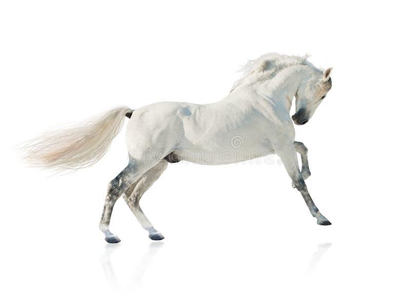 Graues akhal-teke Pferd lokalisiert stockbilder