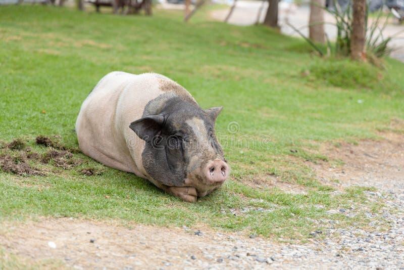 Das große Rosa und schwarze das Hampshire-Schwein lizenzfreie stockfotografie