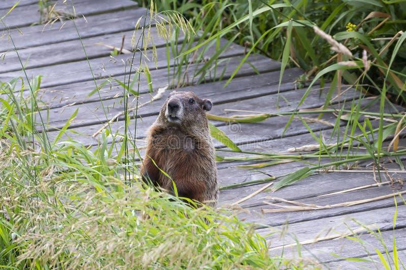 Das groundhog Marmota monax, lizenzfreie stockfotografie