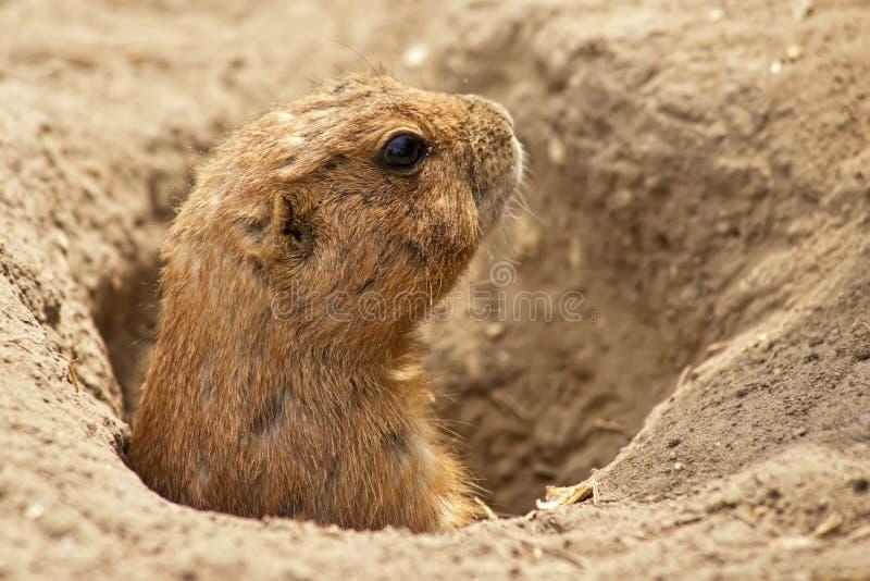Das Grundeichhörnchen lizenzfreie stockfotos