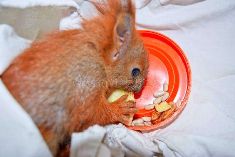 Das Haustiereichhörnchen stockfoto