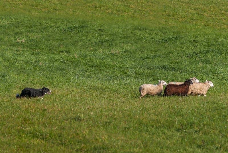 Das In Herden leben des Hundes bewegt Gruppe von Schafe Oviswidder Recht stockfoto