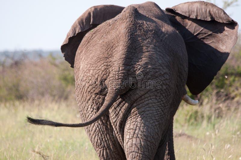 Das hintere Ende des Elefanten stockfoto