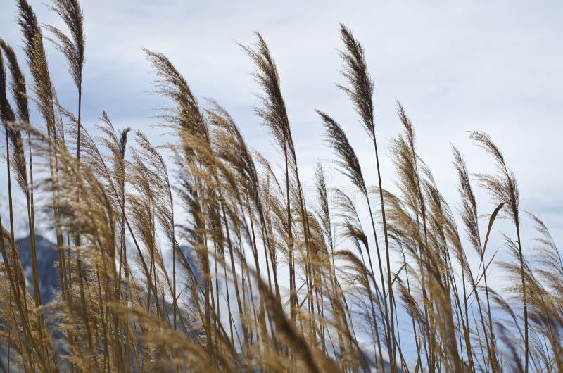 Das hohe Gras der Great- Salt Lakesumpfgebiete stockbilder