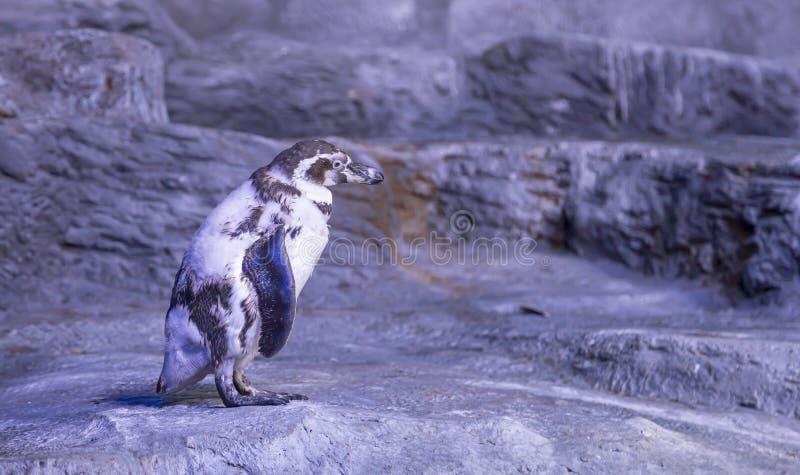Das Humboldt-Pinguin Spheniscus humboldti, der Humboldtpinguin oder das patranca ist ein s?damerikanischer Pinguin lizenzfreies stockbild