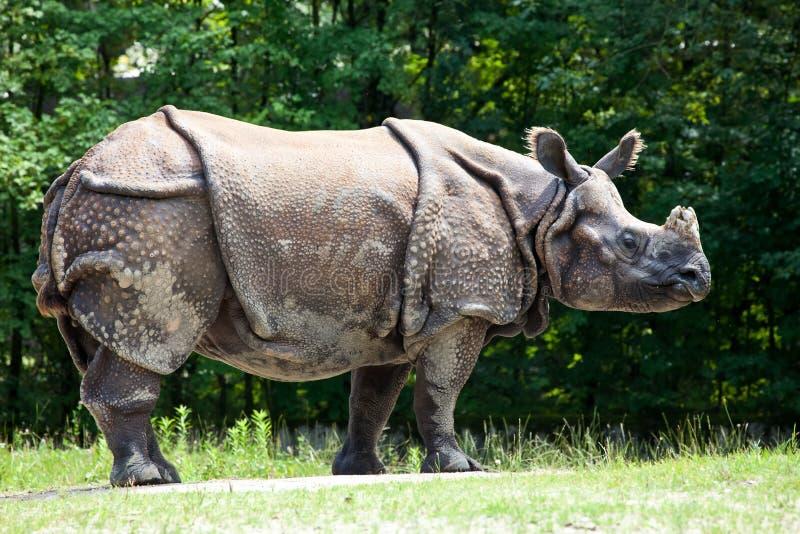 Das indische Nashorn, Nashorn unicornis alias gr??eres Ein-geh?rntes Nashorn lizenzfreie stockbilder