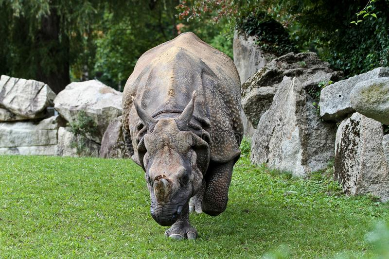Das indische Nashorn, Nashorn unicornis alias gr??eres Ein-geh?rntes Nashorn stockfotografie