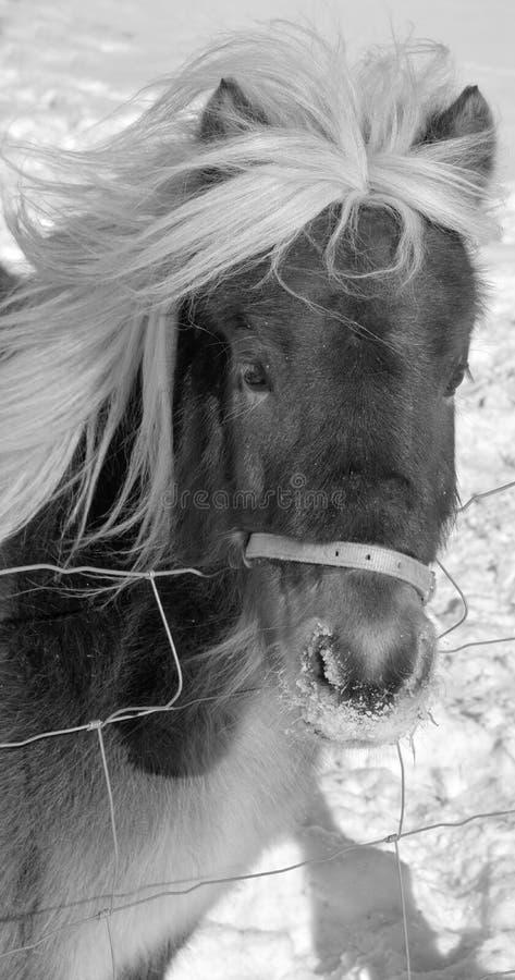 Das isländische Pferd stockbilder