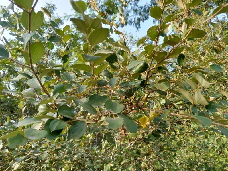 Das ist ein natürlicher Jujube-Baum, es's grün im Dorf Ambegon Stadt Aurangabad Maharashtra Indien lizenzfreies stockbild
