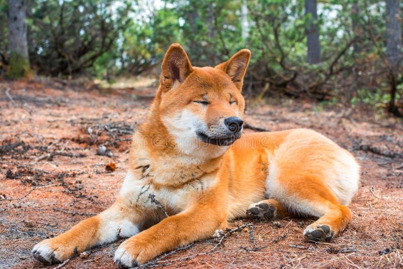 Das junge Hund-shiba-inu liegt unten, stillstehend aus den Grund lizenzfreie stockbilder