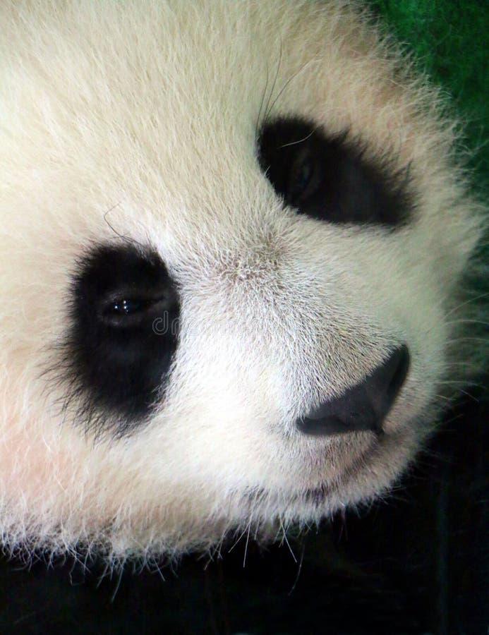 Das Jungsgesicht Ailuropoda melanoleuca des großen Pandas, alias der Pandabär stockfoto