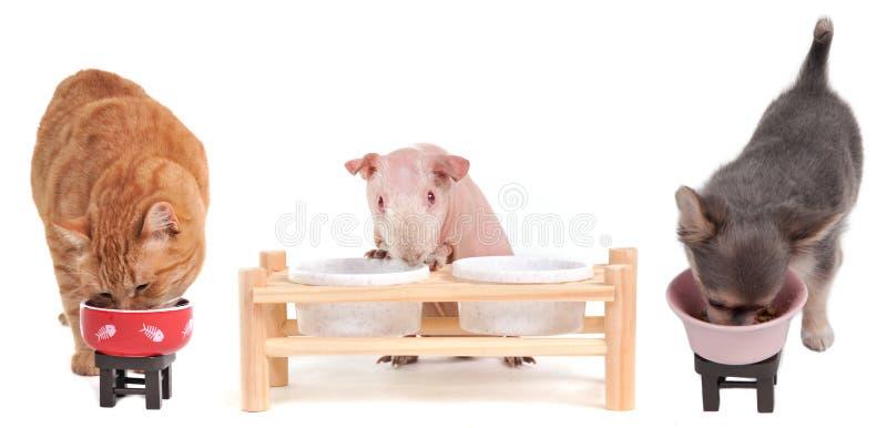 Das Kätzchen, Chihuahua und Meerschweinchen essen getrennt lizenzfreie stockbilder