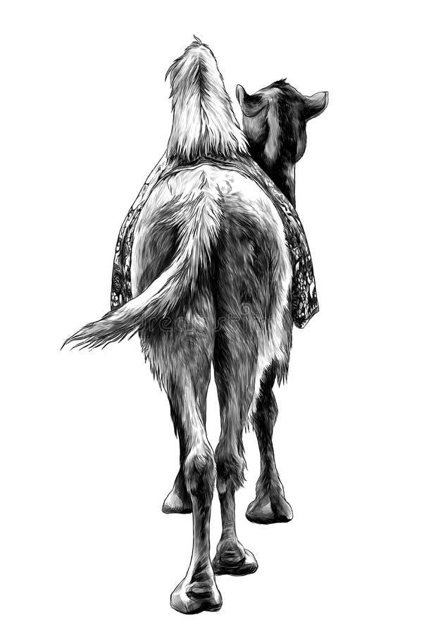 Das Kamel steht mit einem Kap auf der Rückseite der hinteren Ansicht über Esel lizenzfreie abbildung