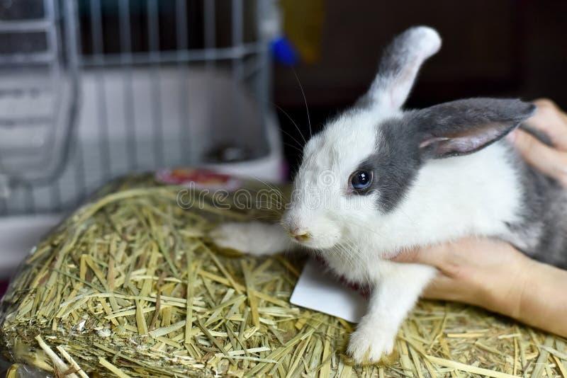 Das Kaninchenhaustier, das auf ihrem Lebensmittel des trockenen Grases sitzen, das graue gesunde Häschen und das frische Erntestr lizenzfreie stockfotografie