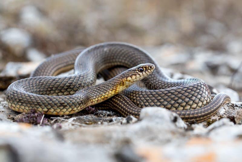 Das kaspische Whipsnake Dolichophis-caspius stockbilder