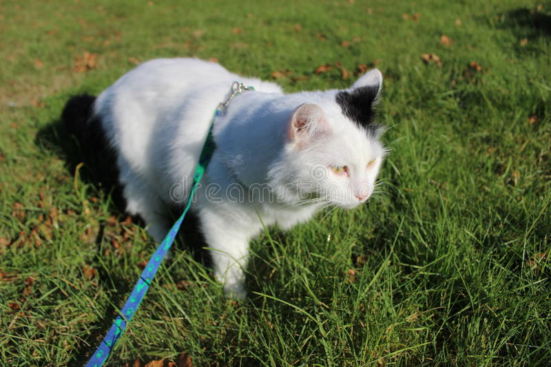 Das Katzenzucht Türkische Van oder türkische Angora stockfotografie