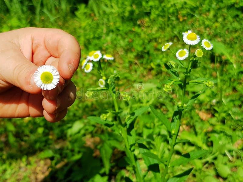 Das Kind hält in seiner Hand eine kleine interessante Blume lizenzfreies stockfoto