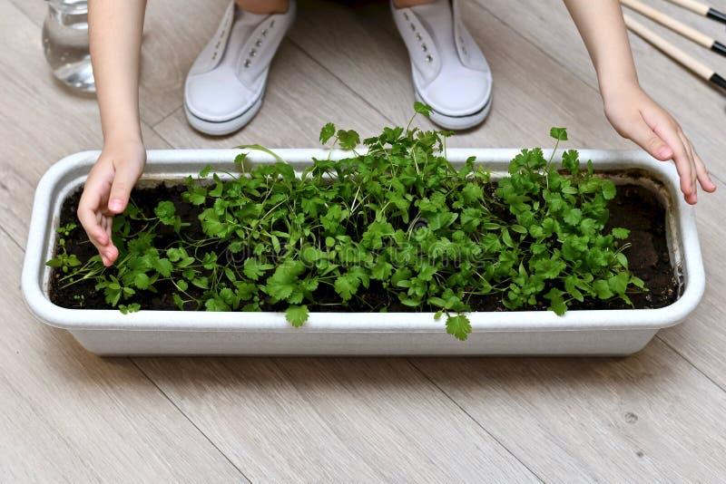 Das Kind umfasst mit zwei Händen eine Ernte des Grüns lizenzfreies stockfoto