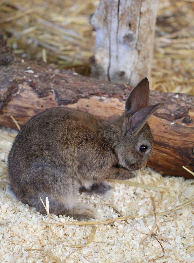 Das kleine braune Kaninchen säubern seinen Pelz stockbild