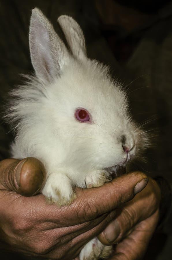 Das kleine weiße Kaninchen, die rauen Hände leicht, umarmend und schützend eines Mannes lizenzfreie stockbilder