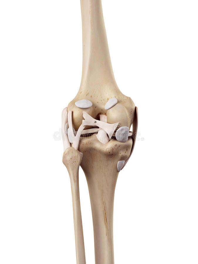 Das Kniegelenk stock abbildung. Illustration von rückseite - 56644520