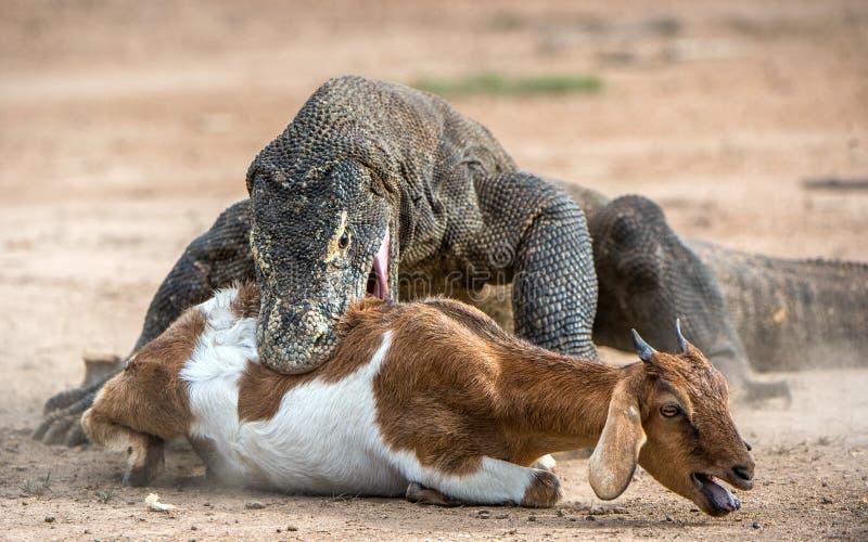 Das Komodowaran nimmt das Opfer in Angriff stockbilder
