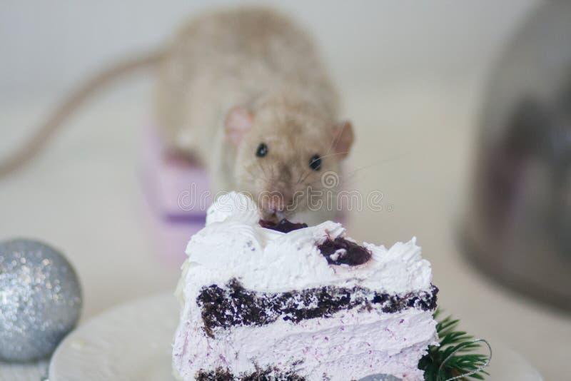 Das Konzept der Gefr??igkeit Maus isst Kuchen Neuzugangkalorien stockfotos