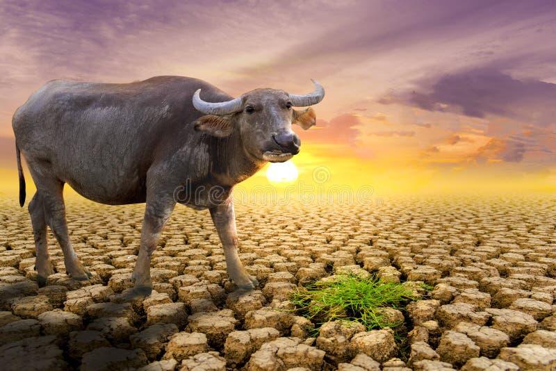 Das Konzept der natürlichen Dürre der Umwelt auf Erde: Ursachentierbüffel, der Nahrung, trockenen Boden, Boden, Hintergrund erman lizenzfreie stockfotografie