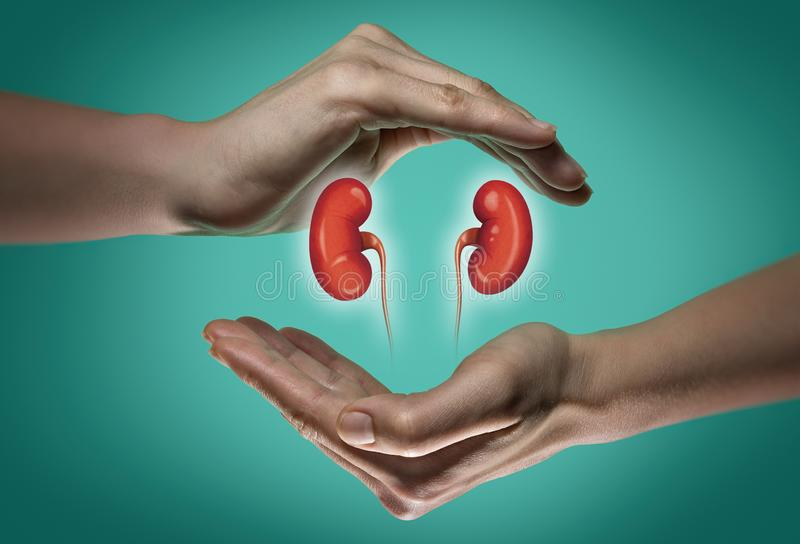 Das Konzept von gesunde Nieren stockfotografie