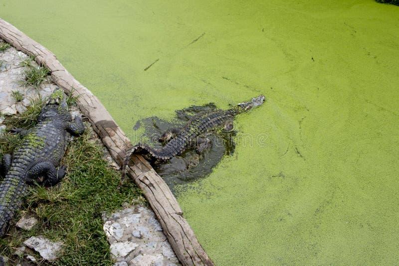 Das Krokodil im Teich schwimmt stockbilder