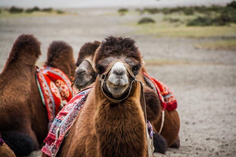Das lächelnde Kamel in Himalaja-Wüste lizenzfreie stockbilder