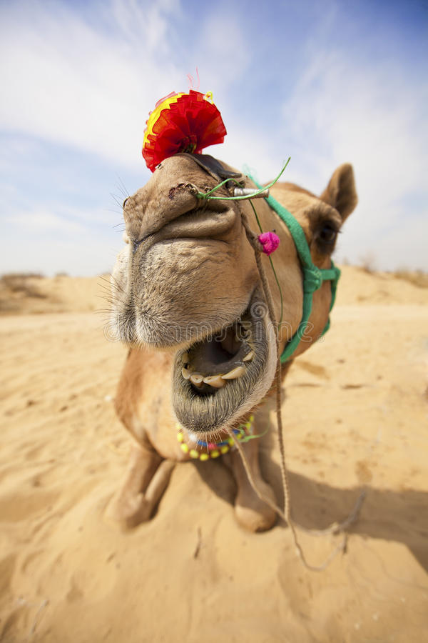 Das lachende Kamel. stockbild