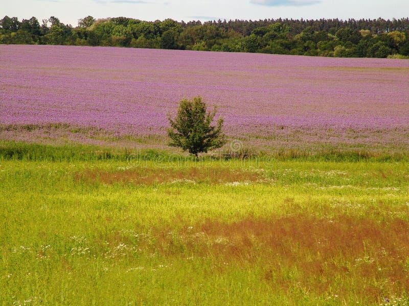 Das Lavendelfeld lizenzfreies stockbild