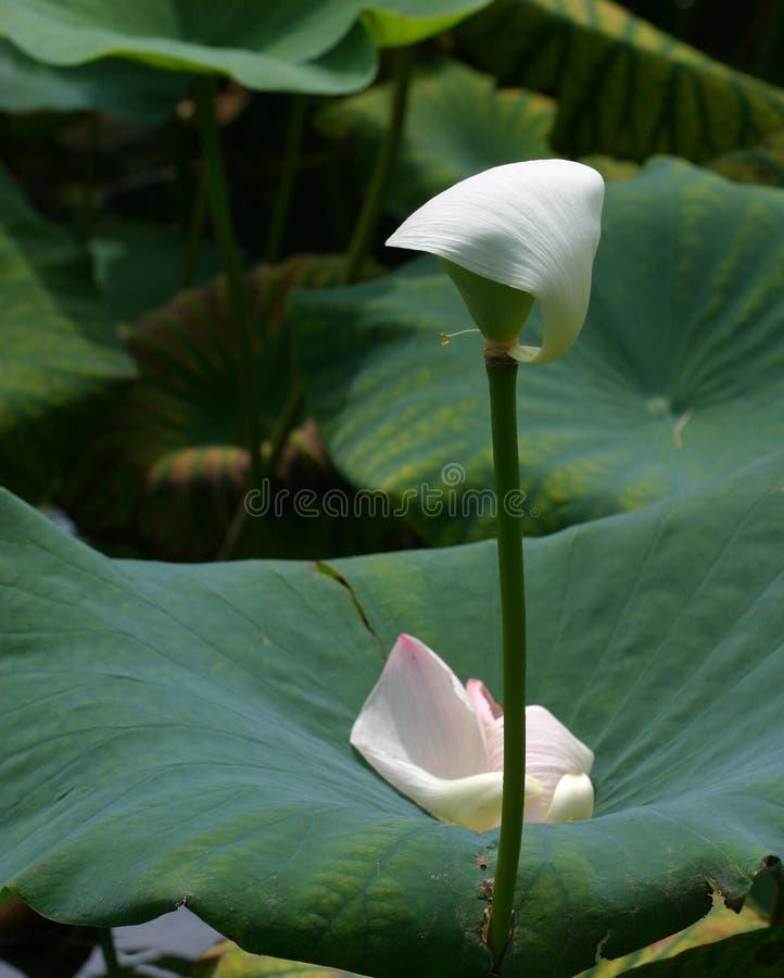 Das letzte Blumenblatt stockfoto
