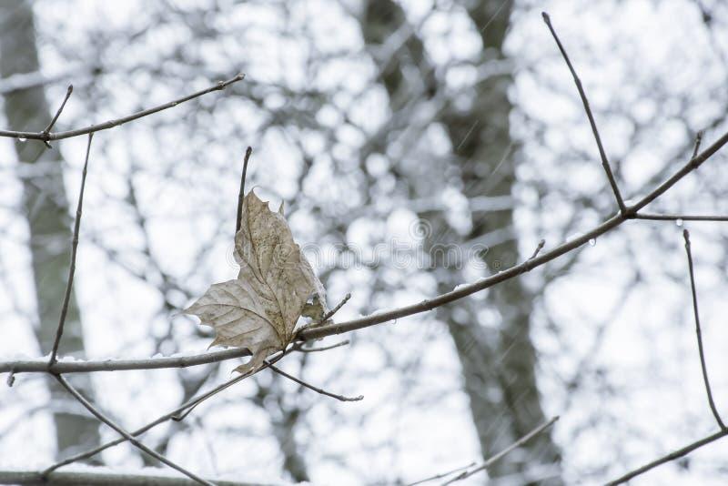 Das letzte trockene und gelbe Blatt auf Baum und fallendem Schnee Jahreszeitänderung in Großbritannien-Waldland stockfotos