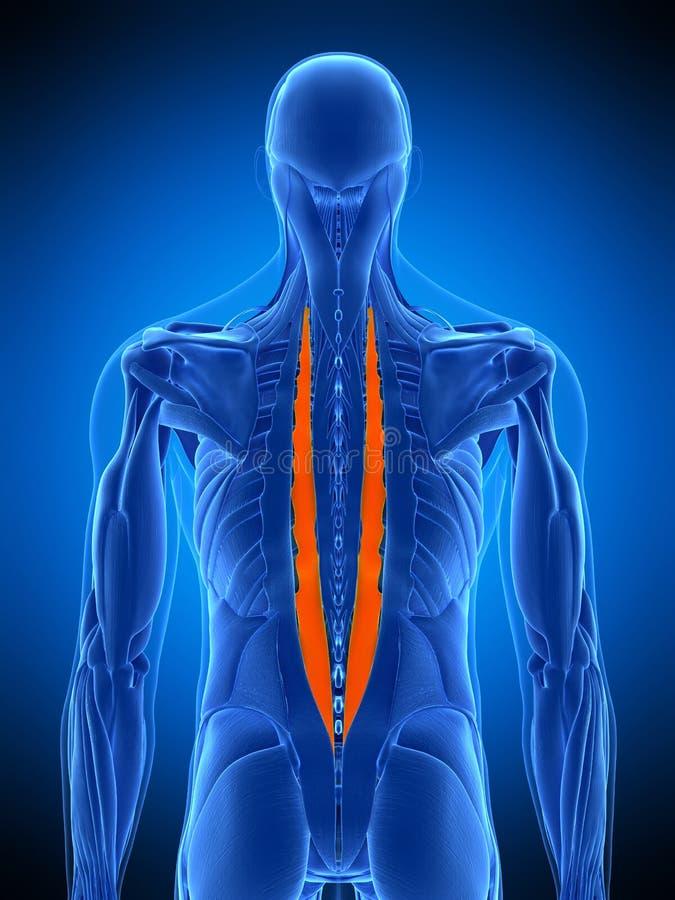 Das longissimus Brust- vektor abbildung