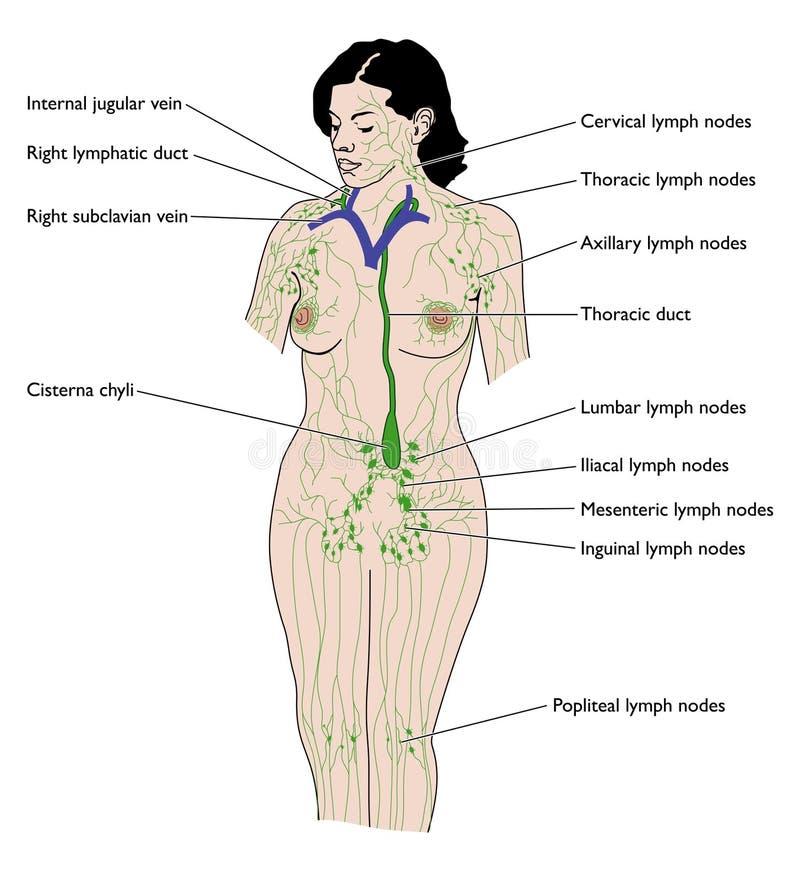 Das Lymphsystem vektor abbildung. Illustration von wissenschaft ...