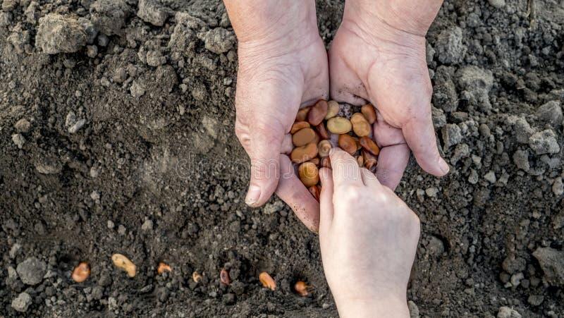Das mãos de um fazendeiro idoso, a criança toma a grão e as plantas ele no solo Trabalhe junto, uma geração de foto de stock royalty free