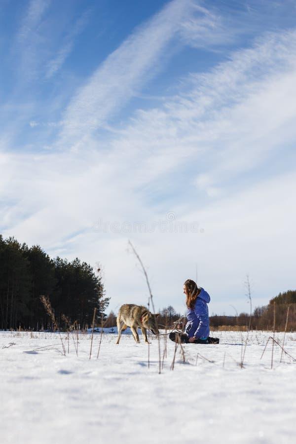 Das Mädchen nimmt an der Ausbildung eines grauen Wolfs auf einem schneebedeckten und sonnigen Gebiet teil stockbild