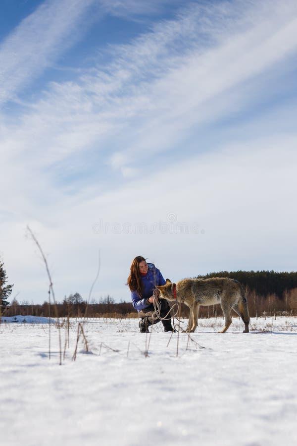 Das Mädchen nimmt an der Ausbildung eines grauen Wolfs auf einem schneebedeckten und sonnigen Gebiet teil lizenzfreies stockfoto