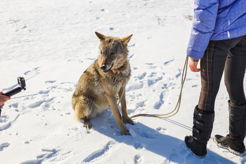 Das Mädchen nimmt an der Ausbildung eines grauen Wolfs auf einem schneebedeckten und sonnigen Gebiet teil stockfotos
