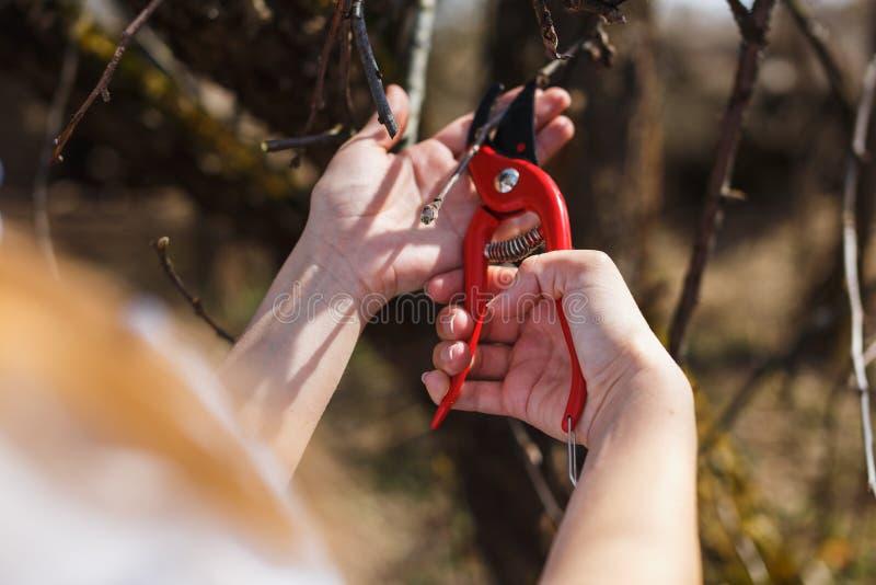 Das Mädchen schnitt die Niederlassungen der roten Baumschere des Apfels im Garten ab stockbild