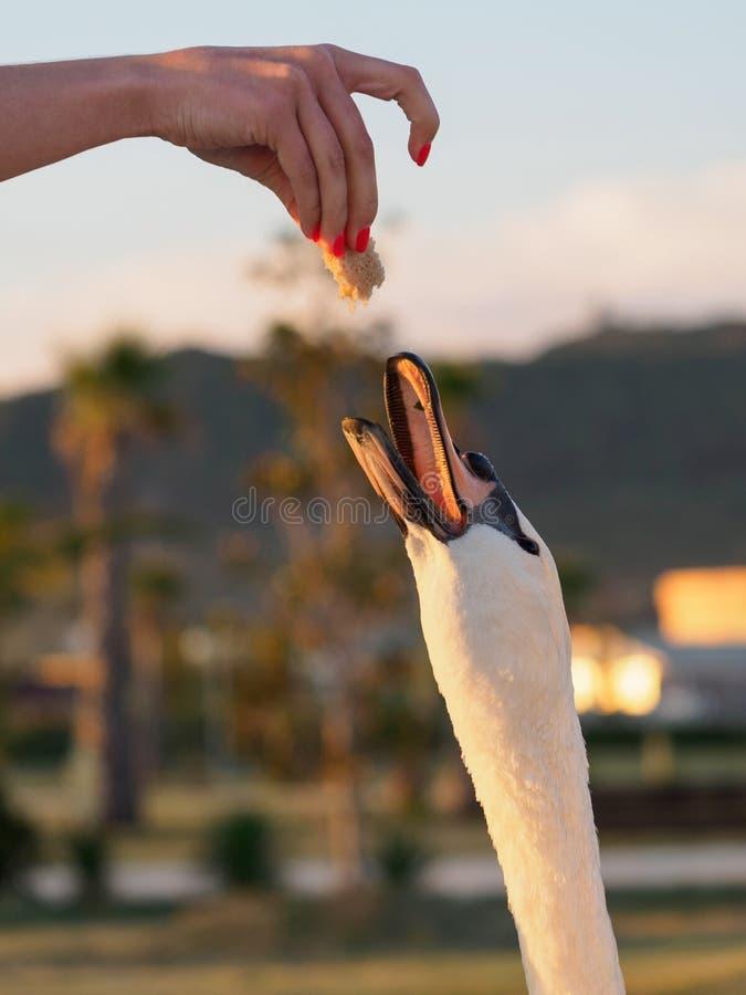 Das Mädchen zieht Höckerschwan ein lizenzfreie stockfotos