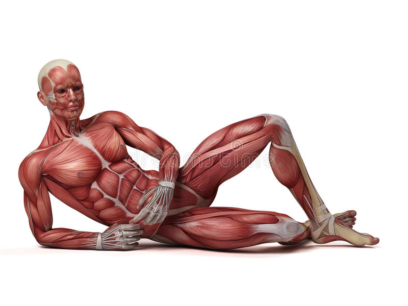 Das männliche muskulöse System stock abbildung