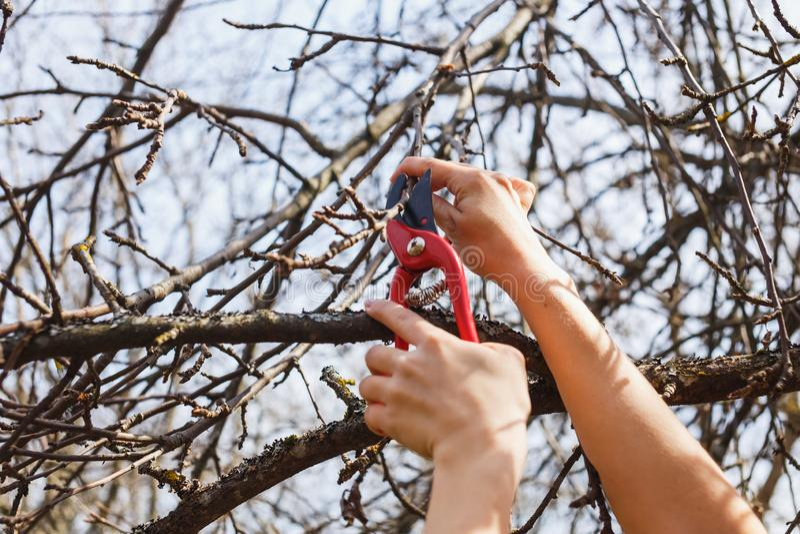 Das M?dchen schneidet Niederlassungen mit pruners auf einem Apfelbaum transplantation stockfoto
