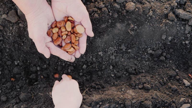 Das m?os de um fazendeiro idoso, a crian?a toma a gr?o e as plantas ele no solo Trabalhe junto, uma gera??o de imagens de stock