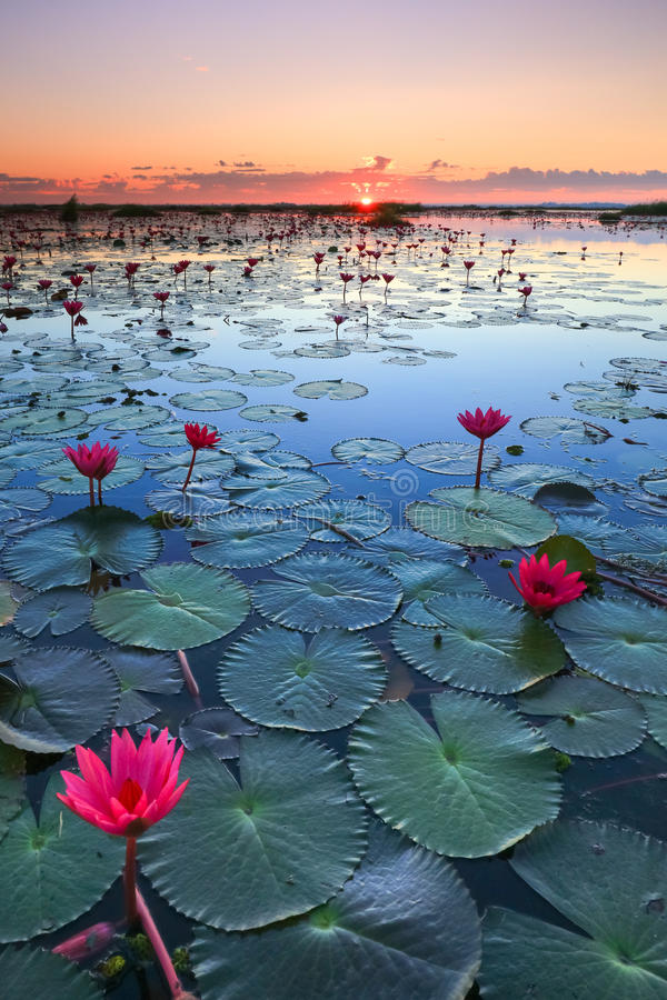 Das Meer des roten Lotos, See Nong Harn, Udon Thani, Thailand lizenzfreies stockbild