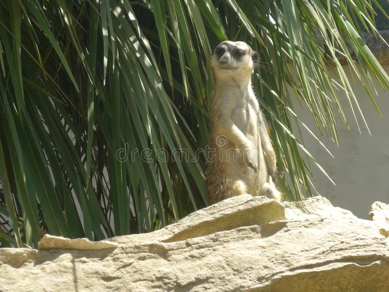Das meerkat oder das suricate lizenzfreies stockbild